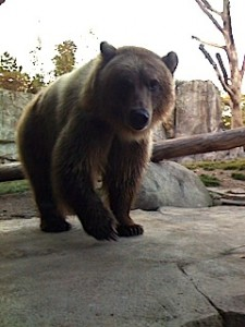 Grizzly Bear at Minnesota Zoo