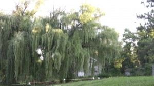 Coldwater Spring Willow