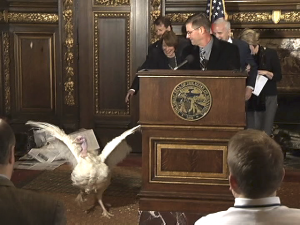 Unsure of a pardon, Ted The Turkey makes a break for it